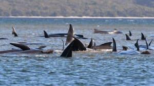 Grindwal-Drama in Tasmanien: Dutzende Tiere sind bereits verendet