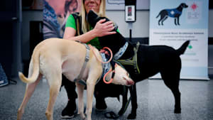 Meet The Airport Dogs Sniffing For Coronavirus
