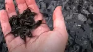 Thousands of tadpoles emerge from drainage ditch