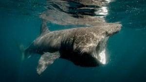 Corona: 500.000 Haie könnten für Corona-Impfstoff getötet werden
