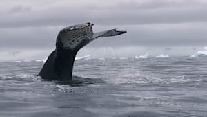 Gigantic Humpback whale breaches just feet away from kayakers in Antarctica