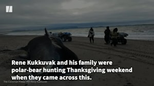 Beached Bowhead Whales Baffle Locals