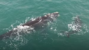 Whale mother and calf spotted having a playful moment off the coast of South Africa