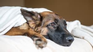 Haben wir den Deutschen Schäferhund krank gezüchtet?