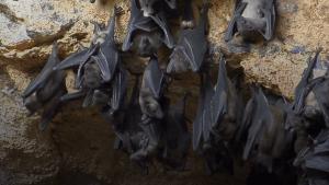 Vorbild Vampir-Fledermäuse: Bei Krankheit gehen sie auf Distanz