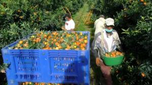 829 Marokkaner retten Clementinenernte auf Korsika