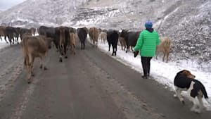 Auszug aus Bergkarabach: Bauern treiben ihr Vieh nach Armenien