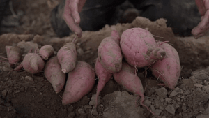 Voller Nährstoffe für die kalte Jahreszeit: Wurzelgemüse sind ein Hit