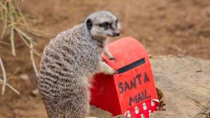 Briefe an den Weihnachtsmann: Das wünschen sich die Erdmännchen im Londoner Zoo