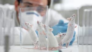 Corona-Forschung: Kein Impfstoff ohne Tierversuche