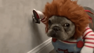 This French Bulldog wins Halloween with his 'Chucky' costume