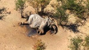 In Botswana sterben massenhaft Elefanten, und keiner weiß warum