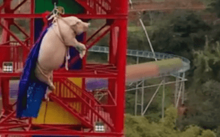 Theme park in China faces backlash after forcing pig to bungee jump