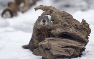 On Groundhog Day, Canada's Wiarton Willie Called Early Spring, Shubenacadie Sam Says More Winter