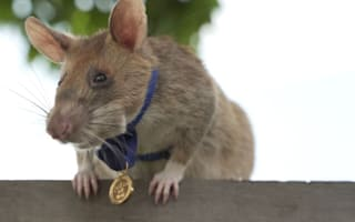 Landmine detection rat awarded gold medal for 'lifesaving bravery'