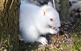 Albino squirrel spotted foraging in Sussex