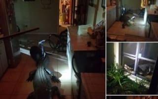 体長3メートル以上のワニが窓を割って住宅に侵入!