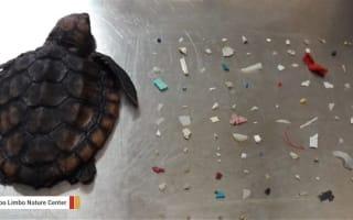 米フロリダ州の海岸に打ち上げられたウミガメの赤ちゃんの体内から、104個ものプラスチック片が見つかる
