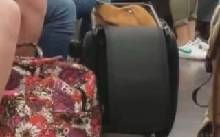 「合成みたい」小さなスーツケースにすっぽりと収まった犬が話題に【映像】