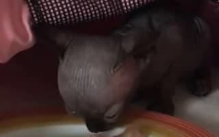 コウモリみたいな見た目をした、スフィンクスの子猫がインスタで人気に【映像】