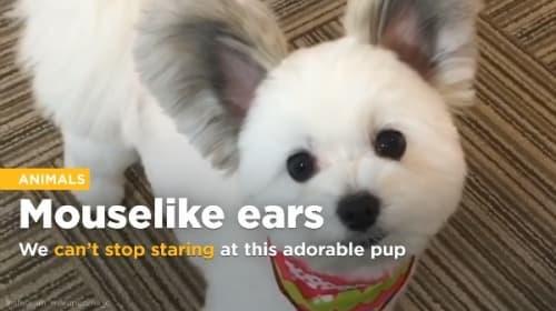 可愛すぎる!大きな耳を持つミックス犬が「ミッキーマウスみたい」と海外でも話題に