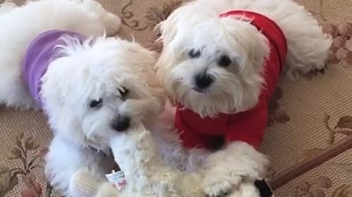 バーブラ・ストライサンド、亡くなった愛犬のクローン犬の動画を公開し話題に