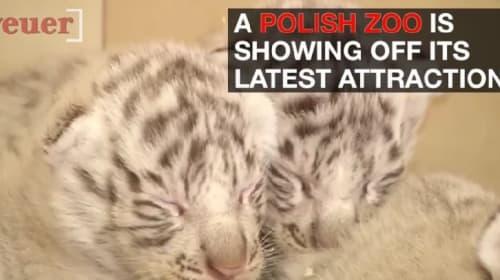 ポーランドの動物園で珍しい4つ子のホワイトタイガーが誕生!【映像】