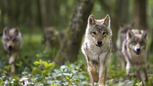 【上司必見】教えて、オオカミ先生!オオカミに学ぶ「リーダーシップ」とは?