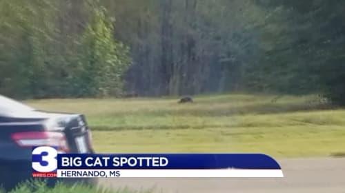 正体はヒョウ? ミシシッピ州で巨大ネコの目撃情報が話題に【映像】
