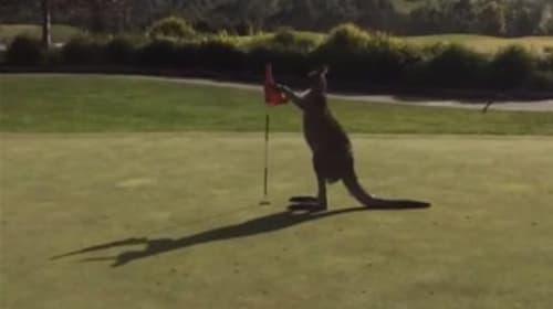 ゴルフ場がカンガルーに乗っ取られた!衝撃映像がネット上で話題に