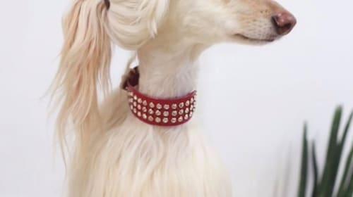 犬の横顔が「イヴァンカ・トランプにそっくり!」と話題に