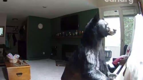 家に忍び込んでピアノを弾くクマが激写される!?【映像】