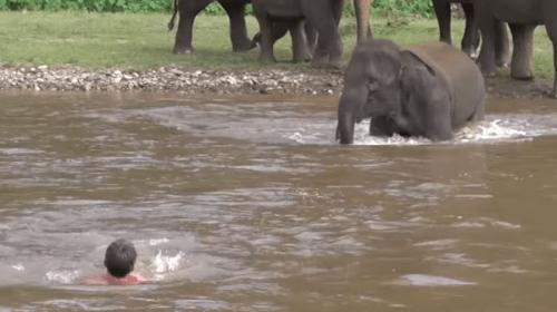川で溺れた人間を象が助ける! 深い絆に感動の声