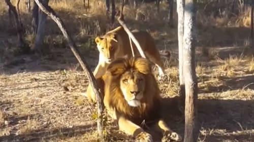 背後からそーっと近づくメスライオン・・・気づいたオスライオンがビビりまくる動画が話題に