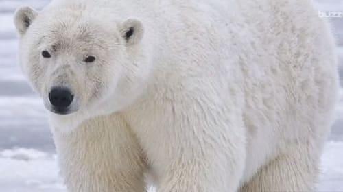 【コワすぎ!】ロシアの気象観測隊が10匹のシロクマに囲まれ身動き取れず