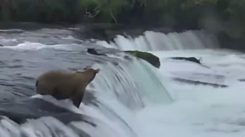 小グマが滝から落ちた!それを見ていた母グマのたくましい姿が話題に【動画】