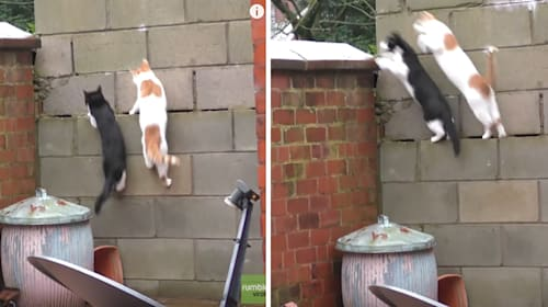 ニャンクロ率100%! ネコ2匹が同時に壁を駆け上がる映像がなんかジワジワくるwww
