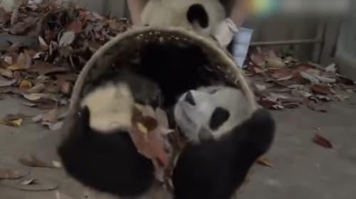飼育員の言うことを全く聞かないジャイアントパンダの赤ちゃんたちが可愛いけどカオスwww【動画】
