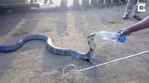 人が差し出したペットボトルの水を大人しく飲む野生のキングコブラ【映像】
