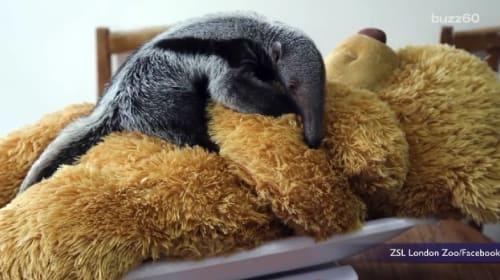 テディベアと眠るオオアリクイの赤ちゃんがとってもかわいい!