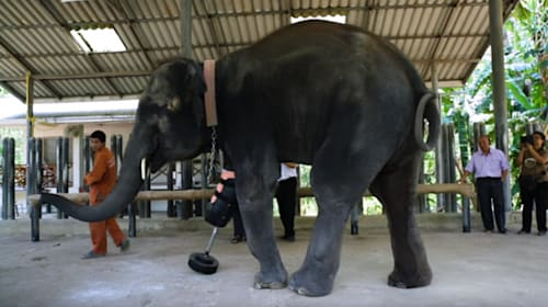 世界で初めて義足をつけた象「モーシャ」、新たな義足を贈られ嬉しそうな姿が感動的すぎる【動画】