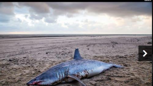 恐怖!体長3メートル超のサメがビーチに打ち上げられ地元民が震撼