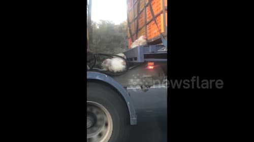 Chickens cling to lorry going 60mph after falling out of crate