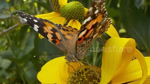 British wildlife fans encouraged to help record the greatest influx of painted lady butterflies for 10 years