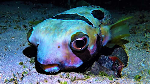 The fish with a spookily human face