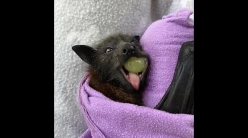 Rescued flying foxes try fruit