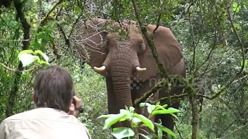 Biologist stands his ground against wild elephant