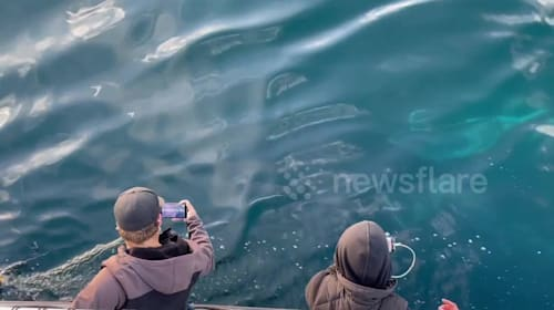 Curious humpback whale breaches and inspects boat off California's coast