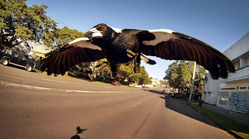 Cyclist dies after being attacked by swooping magpie in Australia