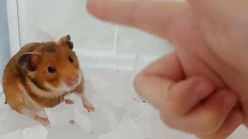 Adorable hamster gets 'shot' and pretends to be dead